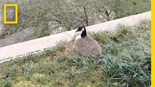 National Geographic HQ Goose Nest Cam LIVE | National Geographic