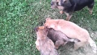 Border Terriers Hunting