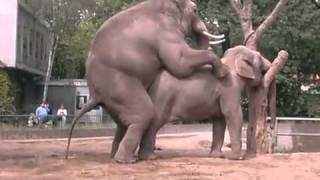 Repeat youtube video Слоники размножаются - очень смешно