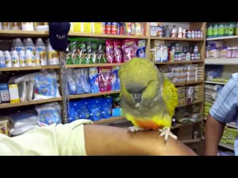 BIRD ZONE KARACHI | Fully Active Healthy & tamed Patagonian Conure parrot