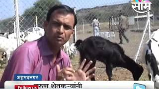 Goat farming success story of young farmers of Sangamner