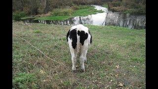 Откорм бычков: почему нельзя вводить новый корм на короткий срок