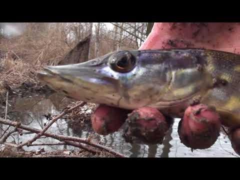 """КАК ЩУКА """"СБЕЖАЛА"""" С ПРУДА или сколько рыбы осталось после зимы"""
