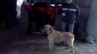 rosomak i jego pies
