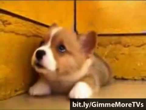 Which breed of dog is cuter than CORGI?