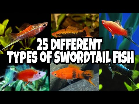 25 Different Types Of Swordtail Fish | Varieties Of Swordtail Fish | Prathmesh Aquatics