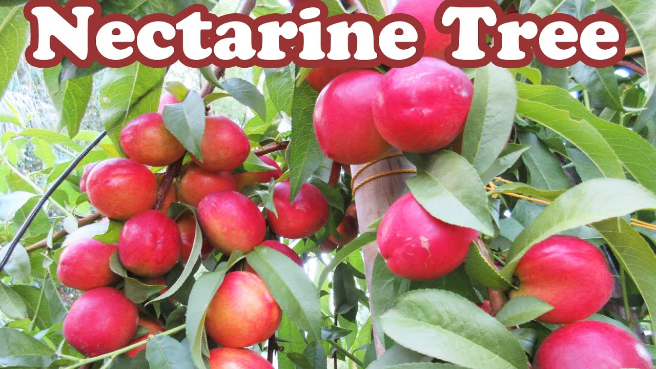 growing dwarf nectarine fruit trees how to stake a tree plants