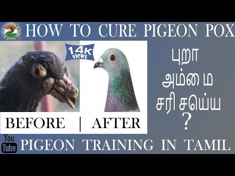 pigeon pox cure 100% Nature medicine / pigeon training in tamil