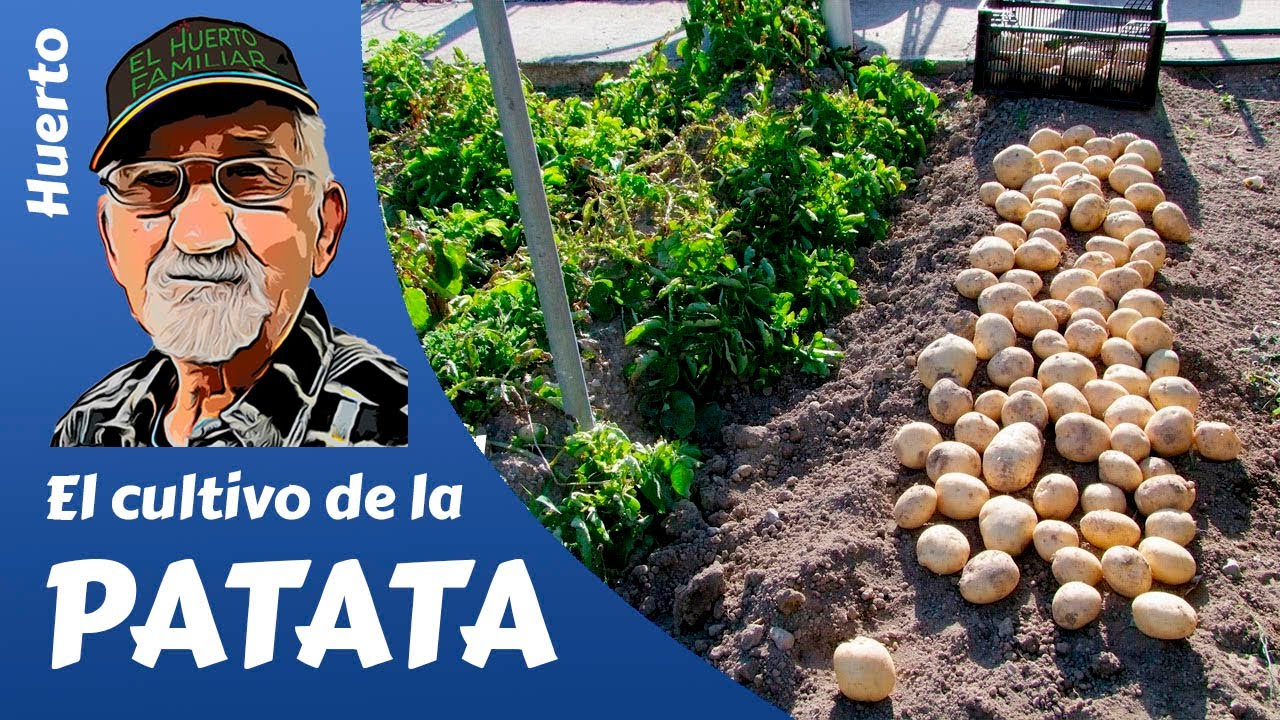 El cultivo de la patata potato cultivation la culture de for Como cultivar patatas