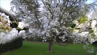 Secluded Garden at Kew Gardens, London. (Prunus ''Shirotae'' - Mount Fuji Cherry)