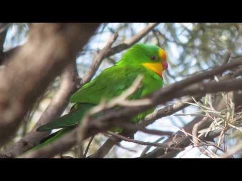Male Superb Parrot near Deniliquin, New South Wales
