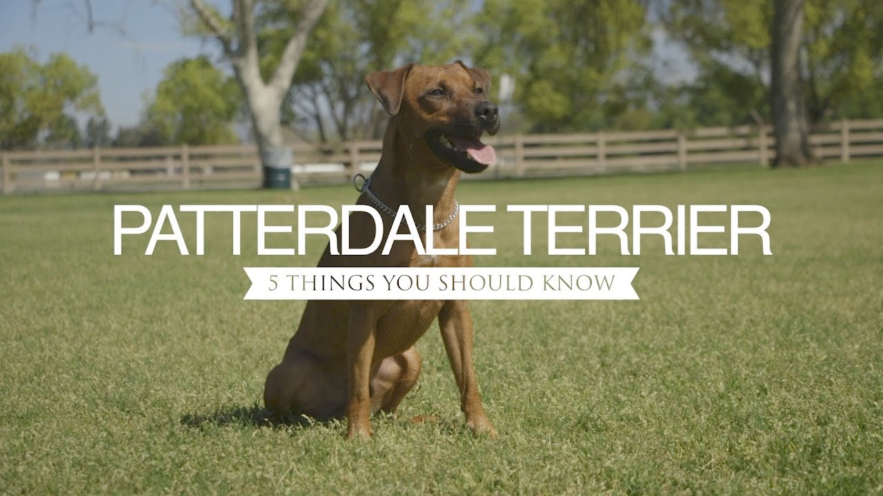 Patterdale Terrier Five Things You Should Know Youtube