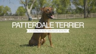 PATTERDALE TERRIER FIVE THINGS YOU SHOULD KNOW