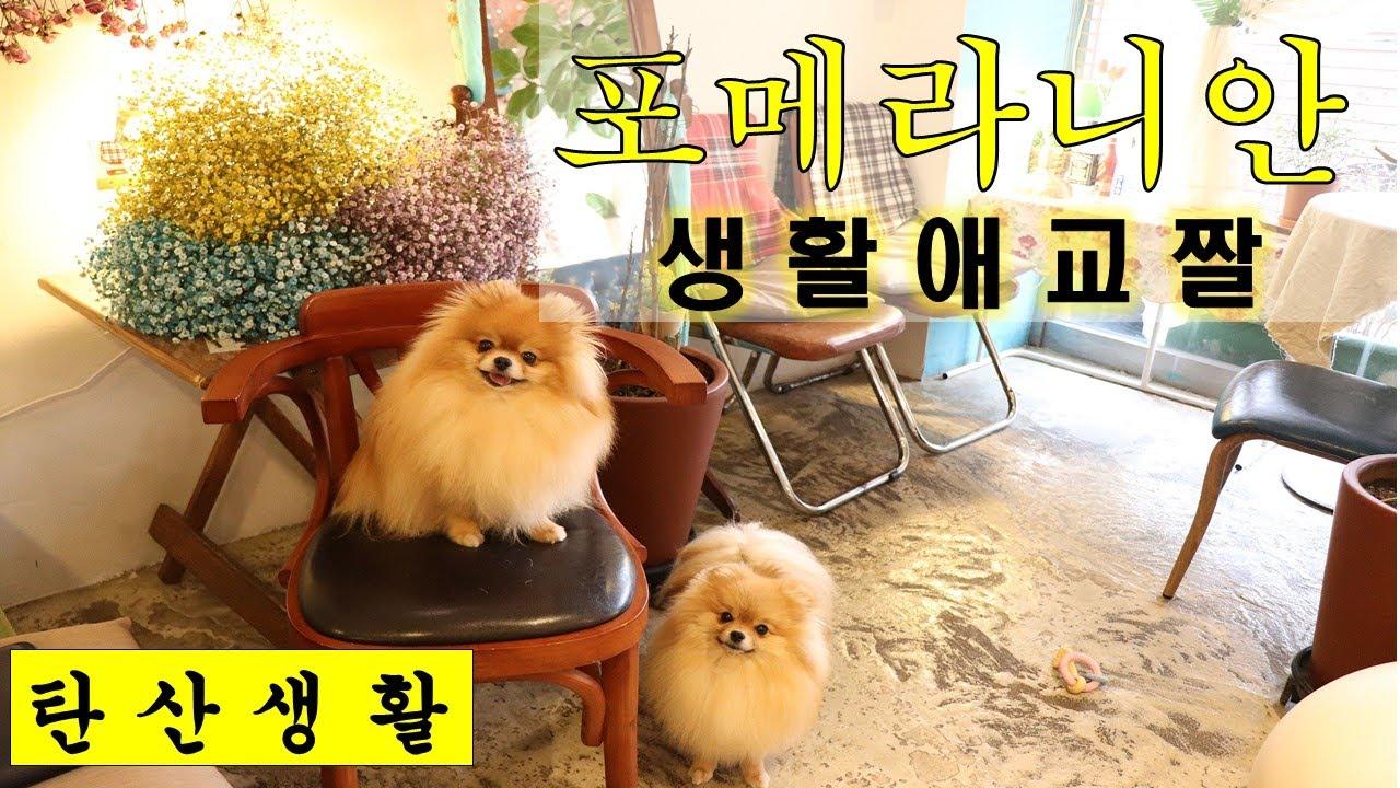 (탄산생활) 귀여운 강아지 가족 포메라니안 생활 애교 짤