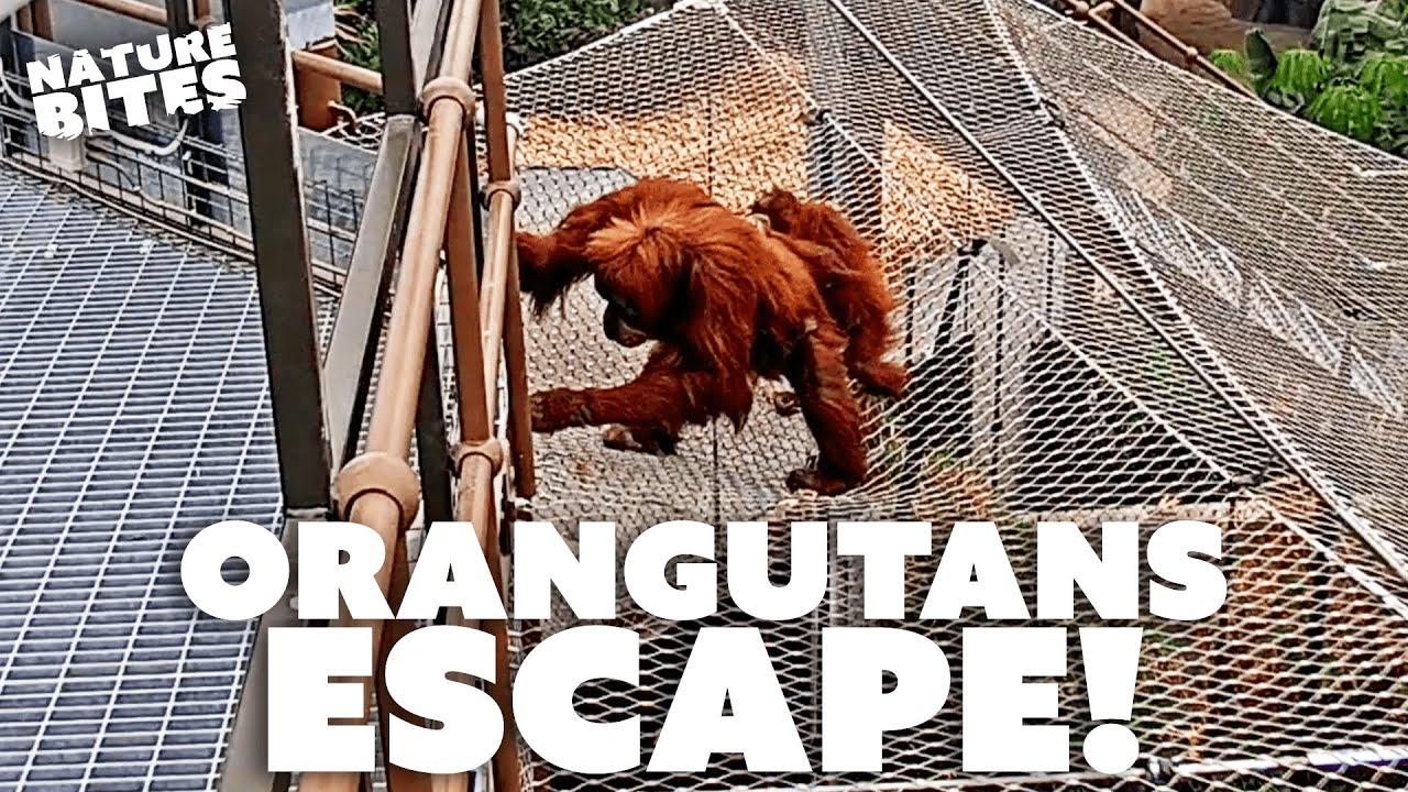Download Orangutans ESCAPE Zoo Enclosure!   Secret Life of the Zoo   Nature Bites