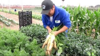 cosecha de zanahoria de colores nov2010