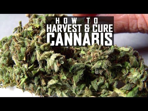 Seeds, Soil & Sun: How to Grow Cannabis (#5 Harvest, Trim, Cure and Manicure)