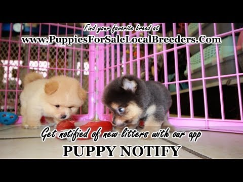 Pomeranian Puppies For Sale Georgia Local Breeders Near Atlanta
