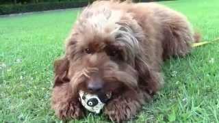 オーストラリアン・ラブラドゥードルのメイとボール遊び。 2015年夏。 ※...