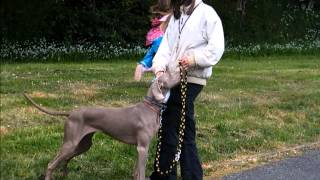 Weimaraner loose lead walking, training loose leash and control in a highly reactive dog