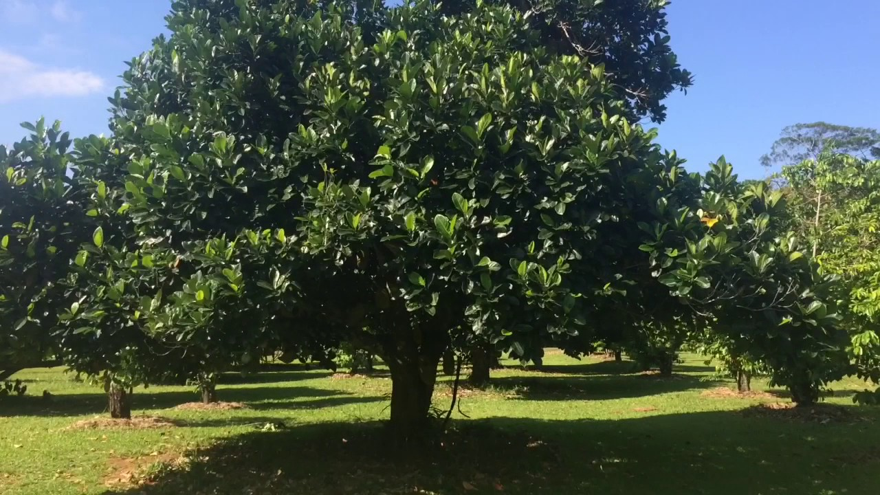 Jackfruit Trees In Australia Youtube
