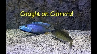 Watch Fish Reproduce....Caught on Camera!!