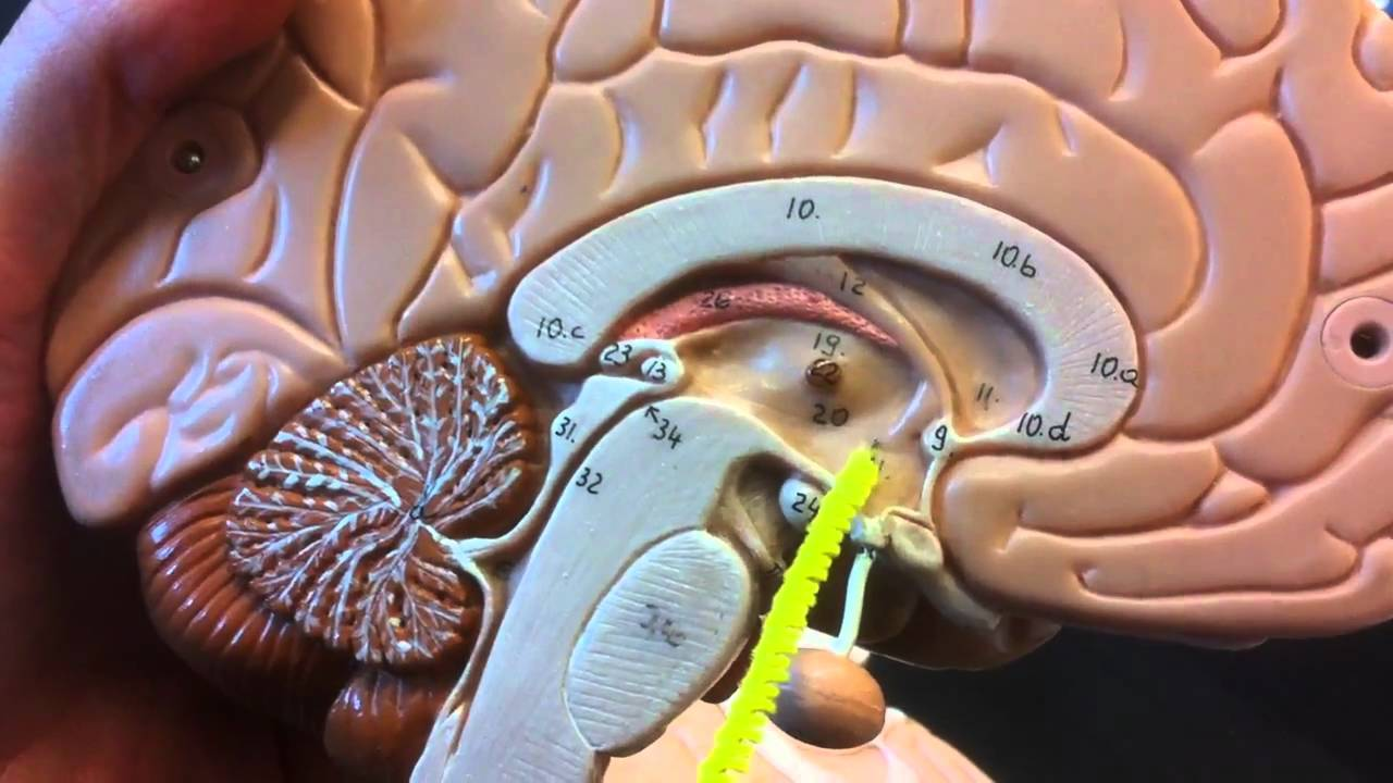 Brain Anatomy Youtube
