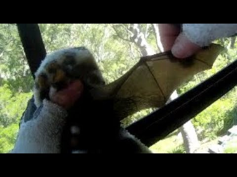 Rescuing a microbat in a sliding door crevice:  this is Serpentine