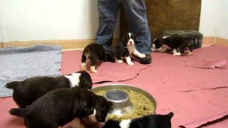 English Springer Spaniel Puppies   (lizzies Puppies In The Kennel 1st Day) Mov
