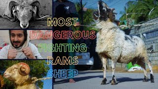 most dangerous fighting rams sheep at Paracha House