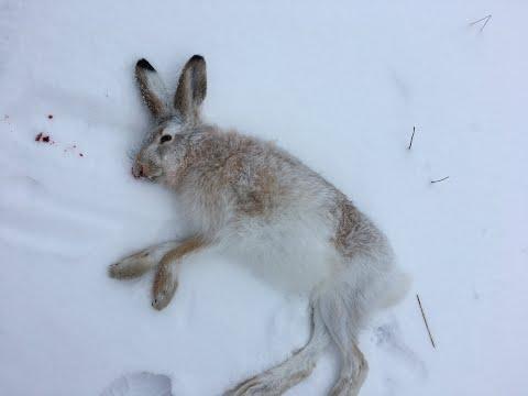 """""""Путь в тишину..."""" Охота на зайца ! Забавный случай , беляк и русак лежали рядом ..."""