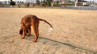 ヴィッツと従兄弟犬のラルフ! 一緒にくっついて走ってます!