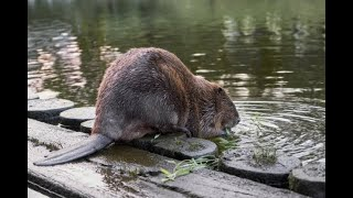Story : Beavers reintroduced in england .