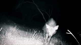 Could This Rare Hyena Be What's Decapitating Goats In Namibia? | Expedition Mungo