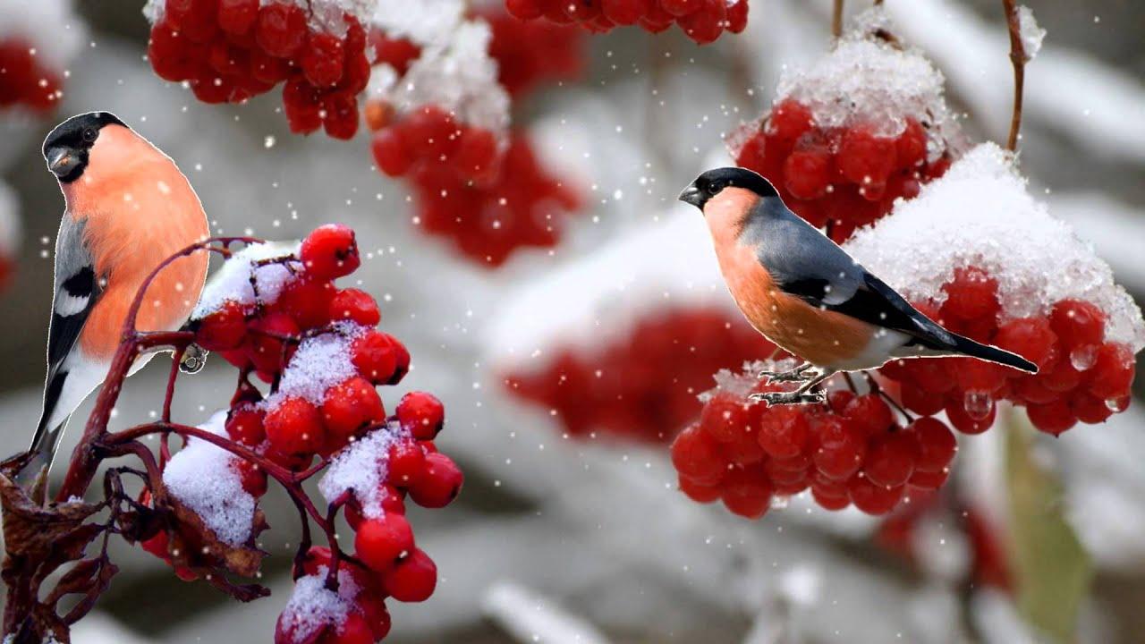 Зима! Снегири прилетели... Бесплатный футаж. - YouTube