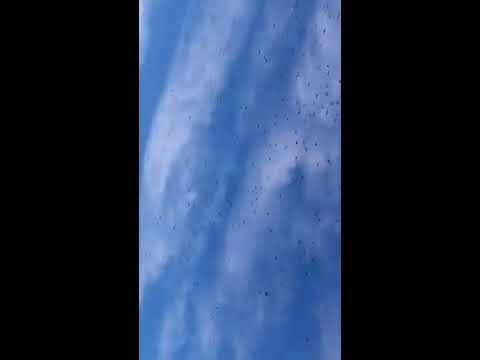 Massive Murder of Crows Over the Smallest Capitol City