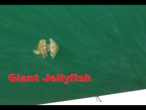 Giant Australian Jellyfish! Take Over Southern California