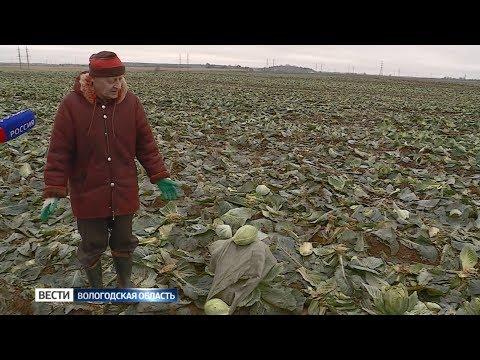 Вологжане собирают с полей племзавода «Майский» оставшийся урожай