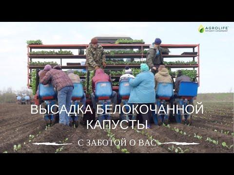 Высадка рассады капусты в открытый грунт   Технология выращивания капусты