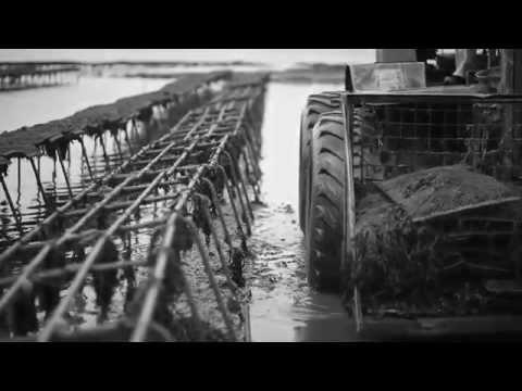 Maldon Oysters