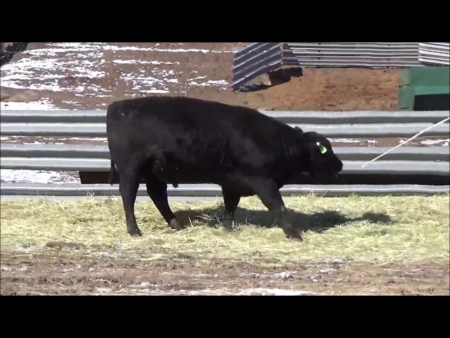 Connealy Angus Lot 491