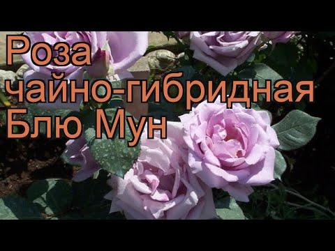 Роза чайно-гибридная Блю Мун (rose blue moon) 🌿 роза Блю Мун обзор: как сажать саженцы розы Блю Мун