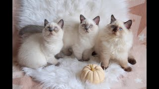 British Kittens colorpoint 3 months old | Snow cotton balls