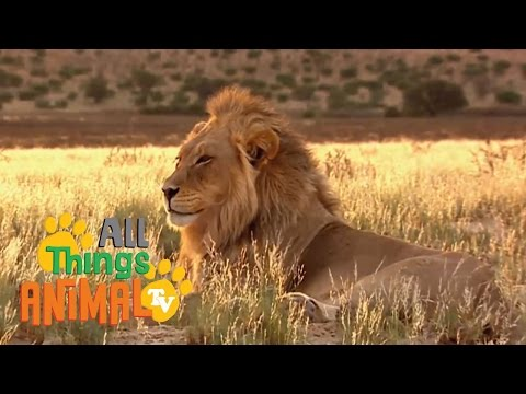 * LION *   Animals For Kids   All Things Animal TV