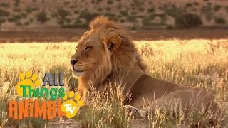 * LION * | Animals For Kids | All Things Animal TV