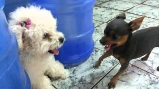 Miniature Pinscher Vs Poodle