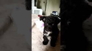 Yorkshire Terrier/Toy Poodle mix
