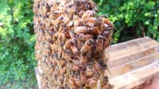 Honey Bee Queen Piping in cell, bees react by freezing in place.