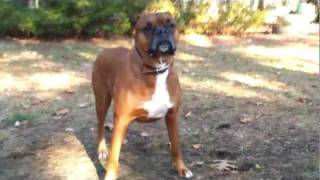 Boxer, 5yr Old Male Looking For New Home In Toronto/gta