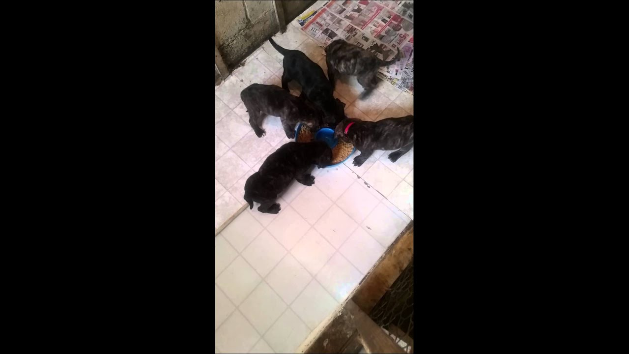 Puppies for sale Canis panther Pit bulls